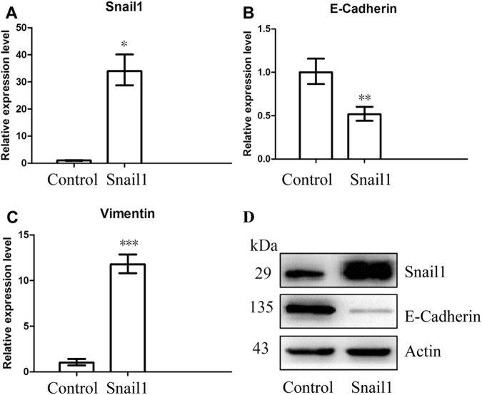RT-PCR and Western blot analysis of HCT116/Control and HCT116/Snail1 cells. RT-PCR analysis showed that Snail1-mRNA expression ( A ) was significantly higher ( P = 0.001), E-cadherin-mRNA expression ( B ) was significantly lower ( P = 0.007), and vimentin-mRNA expression ( C ) was significantly higher ( P