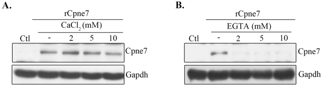 Calcium dependence of Cpne7 endocytosis. Endocytosis of Cpne7 in MDPC-23 cells after treatment with CaCl 2 ( A ) or EGTA ( B ). MDPC-23 cells were pre-treated with varying concentrations of CaCl 2 or EGTA for 1 h before rCpne7 treatment. The internalized Cpne7 was detected by western blotting. Each data are representative of three independently performed experiments. Gapdh, glyceraldehyde 3-phosphate dehydrogenase.