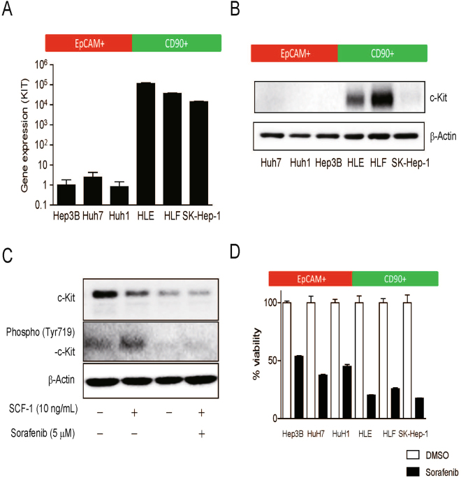 Differential activation of c-Kit signaling in EpCAM + and CD90 + HCC cell lines. ( A ) qRT-PCR analysis of EpCAM + (Hep3B, HuH7, and HuH1) and CD90 + (HLE, HLF, SK-Hep-1) HCC cell lines. ( B ) Western blot analysis of c-Kit expression in EpCAM + (Hep3B, HuH7, and HuH1) and CD90 + (HLE, HLF, SK-Hep-1) HCC cell lines. ( C ) Western blot analysis of c-Kit and phospho-c-Kit in HLF cells treated with SCF-1 and sorafenib for 24 h. ( D ) Cell proliferation assay of EpCAM + (Hep3B, HuH7, and HuH1) and CD90 + (HLE, HLF, SK-Hep-1) HCC cell lines treated with vehicle (0.1% DMSO) or sorafenib (5 μM).