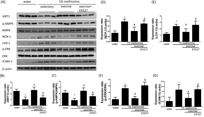 Exercise training repressed HHcy-activated endothelial inflammation and oxidative stress through the modulation of SIRT1. (A) The protein levels of SIRT1, p-AMPK, NOX-1, LOX-1, p-ERK and ICAM-1 in the aortic endothelium of the control group, the 1% methionine group, and the 1% methionine plus exercise group were investigated by Western blot analysis. (B, C, D, E, F, G) The bars represent the relative protein levels of SIRT1, p-AMPK, NOX-1, LOX-1, p-ERK and ICAM-1, which were normalized to β-actin, and indicate the mean ± SD (n = 8 in each group). *P