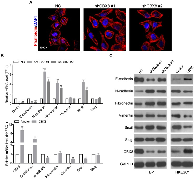 CBX8 inhibits EMT in ESCC cells. (A) TE-1 cells stably expressing NC or shRNA-CBX8 as indicated were analyzed by immunofluorescence assay for phalloidin (red) with DAPI (blue) counterstaining. (B, C) Relative expressions of the indicated molecules were detected by qRT-PCR (B) and Western blotting (C) in the indicated stable cell lines, respectively. The results are expressed as the mean ± SD of three independent experiments. * p