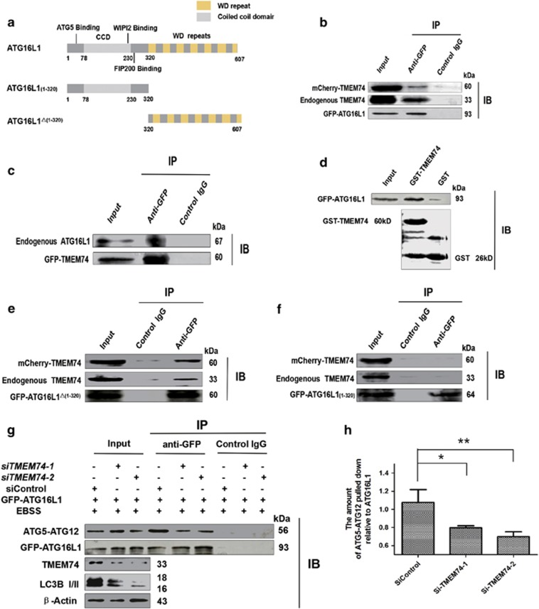 TMEM74 associates with ATG16L1 via its C-terminal and influences the interaction between ATG5 and ATG16L1. ( a ) Schematic representations of WT ATG16L1 and its mutants: ATG16L1(1–320), and ATG16L1 △(1–320) . ( b ) HeLa cells were co-transfected with GFP-ATG16L1 and mCherry-TMEM74 for 24 h, Total cell extracts were subjected to IP using either an anti-GFP or an isotype control IgG, TMEM74 was detected in the washed beads using anti-TMEM74 IgG by western blotting. ( c ) HeLa cells were co-transfected with GFP-TMEM74 and mCherry-ATG16L1 for 24 h. Total cell extracts were subjected to IP using either an anti-GFP or an isotype control IgG, ATG16L1 was detected in the washed beads using an anti-ATG16L1 IgG by western blotting. ( d ) GST and GST-TMEM74 fusion protein immobilized on glutainione-sepharose beads were incubated with HeLa cell lysates containing GFP-ATG16L1, GFP-ATG16L1 was detected in the washed beads by western blotting. ( e , f ) HeLa cells were co-transfected with mCherry-TMEM74 and GFP-ATG16L1(1–320), or GFP-ATG16L1 △(1–320) respectively for 24 h. Total cell extracts were subjected to IP using an anti-GFP or an isotype control IgG, as indicated. TMEM74 were detected in the washed beads by western blotting. ( g , h ) HeLa cells were firstly treated by siTMEM74-1 , siTMEM74-2 or siControl for 24 h, then transfected with GFP-ATG16L1 for 24 h, meanwhile treated with EBSS for at least 8 h. Total cell extracts were subjected to IP using an anti-GFP or a non-specific control IgG, ATG5-ATG12 complex pulled down was detected in the immunoprecipitates using anti-ATG5 by western blotting. Quantification of ATG5-ATG12 pulled down relative to GFP-ATG16L1 was shown as column. Data are means±S.D. of three experiments. * P