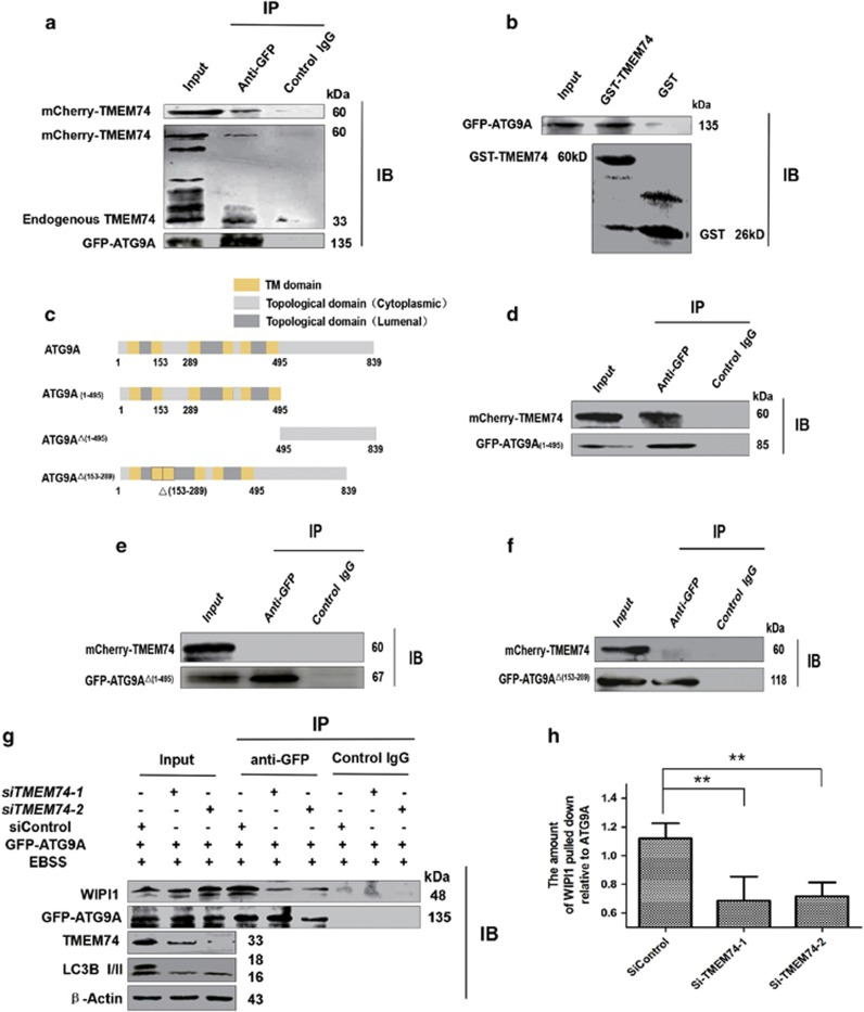 TMEM74 associates with ATG9A via its N-terminal and influences the interaction between ATG9 and WIPI1. ( a ) HeLa cells were co-transfected with GFP-ATG9A and mCherry-TMEM74 for 24 h. Total cell extracts were subjected to IP using either an anti-GFP or an isotype control IgG, TMEM74 was detected in the washed beads using anti-TMEM74 IgG by western blotting. ( b ) GST and GST-TMEM74 fusion protein immobilized on glutainione-sepharose beads were incubated with HeLa cell lysates containing GFP-ATG9A, GFP-ATG9A was detected in the washed beads using an anti-GFP IgG by western blotting. ( c ) Schematic representations of WT-ATG9A and its mutants: ATG9A(1–495), and ATG9A △(1–495) , and ATG9A △(153–289) . ( d – f ) HeLa cells were co-transfected with mCherry-TMEM74 and GFP-ATG9A(1–495), GFP-ATG9A △(1–495) , or GFP-ATG9A △(153–289) respectively for 24 h. Total cell extracts were subjected to IP using an anti-GFP or an isotype control IgG, as indicated. TMEM74 was detected in the washed beads by western blotting. ( g , h ) HeLa cells were firstly treated by siTMEM74-1 , siTMEM74-2 or siControl for 24 h, then transfected with GFP-ATG9A for 24 h, meanwhile treated with EBSS for at least 8 h. Total cell extracts were subjected to IP using an anti-GFP or a non-specific control IgG, WIPI1 pulled down was detected in the immunoprecipitates using the anti-WIPI1 antibody by western blotting. Quantification of WIPI1 pulled down relative to GFP-ATG9A was shown as column. Data are means±S.D. of three experiments. * P