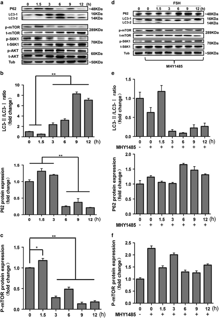 FSH regulates the AKT-mTOR pathway. ( a ) FSH increased the conversion of LC3-I into LC3-II and decreased the p62 protein level in MGCs at 12 h. The level of p-mTOR and p-S6K1 was increased at 1.5 h and decreased at 3, 6, 9, and 12 h compared to that in the control group. α-Tubulin was used as a loading control. ( b ) Quantitative analysis of protein level of LC3-II/LC3-I ratio and p62 in a , top. ( c ) Quantitative analysis of protein level of p-mTOR in a , bottom. ( d ) The effects of MHY1485 on MGCs autophagy induced by FSH injection at 12 h. The protein level of p-mTOR and p-S6K1 was increased after MHY1485 treatment. LC3-II/LC3-I ratio was decreased and the level of p62 was increased after MHY1485 treatment. α-Tubulin was used as a loading control. ( e ) Quantitative analysis of protein level of LC3-II/LC3-I ratio and p62 in d , top. ( f ) Quantitative analysis of protein level of p-mTOR in d , bottom. Data are presented as means±S.E of three experiments. * P