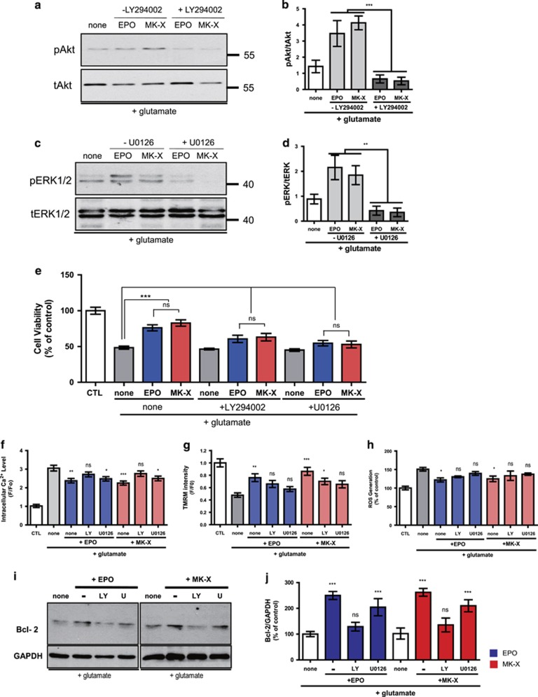 AKT and ERK1/2 contribute differently to the neuroprotective effects of MK-X and EPO. ( a ) MK-X- and EPO-induced Erk1/2 and Akt activation in the presence or absence of U0126 (1 h) under oxidative stress condition. MK-X and EPO increased pErk1/2 levels. These effects were completely blocked by pre-incubation with U0126. ( b ) Quantitative analysis Erk1/2 and Akt activation in five independent experiments. ( c ) MK-X- and EPO-induced Akt activation in the presence or absence of LY294002. MK-X and EPO increased pAkt levels. These effects were completely blocked by pre-incubation with LY294002. ( d ) Quantitative analysis of Akt activation in five independent experiments. ( e ) Neuroprotective effects of treatments with specific inhibitors. In the presence of 30 μ M glutamate, cells were incubated with EPO (1 IU) or MK-X (1 pM). A culture not treated with glutamate was used as a positive control. To block the activation of ERK1/2 and Akt, cells were incubated with 20 μ M U0126 and50 μ M LY294002, respectively. Cell viability was assessed by the Calcein-AM assay. Calcium accumulation ( f ), TMRM staining ( g ), and ROS generation ( h ) were observed in cells treated with EPO (1 IU) or MK-X (1 pM) and a specific inhibitor (20 μ M U0126 or 50 μ M LY294002). ( i ) Immunoblots for Bcl-2 and GAPDH after incubation for 12 h with EPO (1 IU) or MK-X (1 pM) and a specific inhibitor (20 μ M U0126 or 50 μ M LY294002). ( j ) Protein levels were quantified by stereological analysis using the ImageJ program. Equal loading was confirmed by monitoring the GAPDH protein level. Data are means±S.D. from five independent experiments. For statistical analysis, one-way ANOVA was performed, followed by Dunnett's post hoc test. Statistical significance is denoted (* P