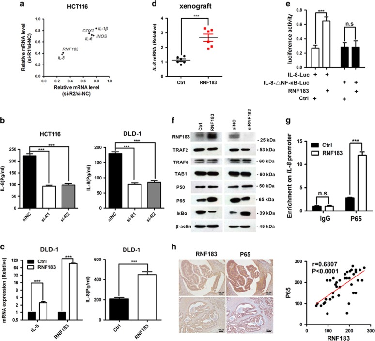 RNF183 promotes IL-8 transcription through NF- κ B. ( a ) The effects of RNF183 knockdown on the mRNA abundance of several NF- κ B downstream genes in HCT116 cells. ( b ) Knockdown RNF183 expression significantly reduced IL-8 secretion in HCT116 (left) and DLD-1 (right) cells. ( c ) Enforced RNF183 expression augments IL-8 transcription (left) and IL-8 secretion (right) in DLD-1 cells. ( d ) Stable RNF183 overexpression increased IL-8 transcription in xenograft tumors as shown in Figure 2g. ( e ) Effects of RNF183 on the activity of luciferase reporter with wild-type or NF- κ B binding site deleted (△NF- κ B) IL-8 promoter in HCT116 cells. ( f ) Expression of several proteins in NF- κ B pathway was examined by western blots with enforced RNF183 expression in HCT116 cells or with RNF183 knockdown in DLD-1 cells. ( g ) Chromatin immunoprecipitation (ChIP) assays were carried out to determine the binding of P65 on IL-8 promoter with or without RNF183 enforced expression. ( h ) The expression of P65 and RNF183 were evaluated in forty CRC tissues. The correlation of these two proteins and the significance were also calculated. Mean±S.D. ( n =3). Scale bar: 100 μ m. *** P