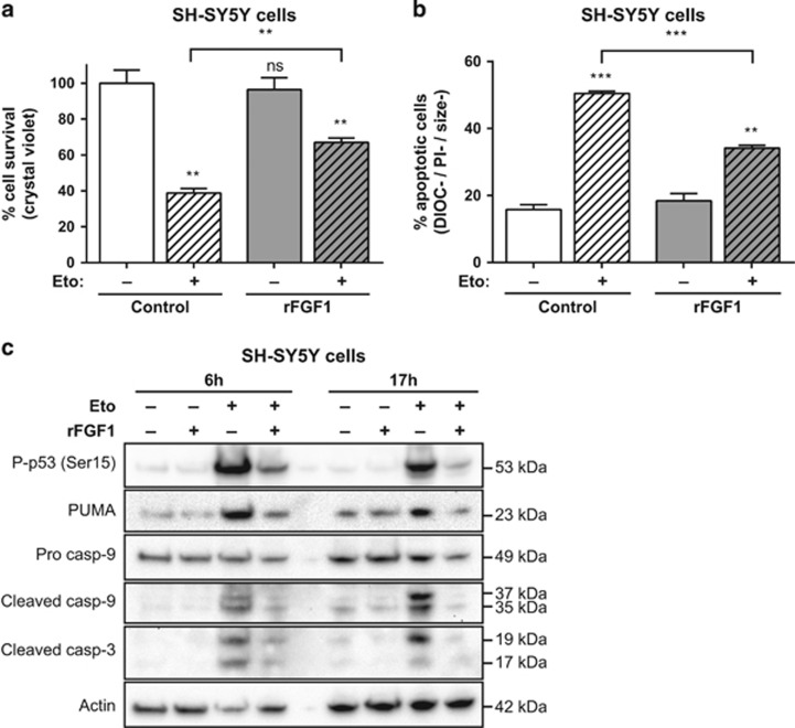 Extracellular FGF1 protects SH-SY5Y cells from p53-dependent apoptosis. ( a ) SH-SY5Y cells were pretreated or not by adding recombinant FGF1 and heparin for 48 h (rFGF1) in the culture medium, then cells were treated or not with etoposide for 24 h (Eto). Cell survival was analyzed by crystal violet nuclei staining. ( b ) Following the same treatments, SH-SY5Y apoptotic cells were characterized by flow cytometry after DiOC 6 (3) and PI staining. Apoptotic cells correspond to the low DiOC 6 (3) (low ΔΨm, noted DIOC−) and low PI (to exclude necrotic cells, noted PI−) staining and small-sized cells (a hallmark of apoptotic cell condensation, noted size−). For ( a and b ), the graphs represent the mean±S.E.M. of three independent experiments. Student's t -tests were performed relative to the control cells, except where indicated ( n =3; n.s.: P > 0.05; ** P ⩽0.01; *** P ⩽ 0.001). ( c ) SH-SY5Y cells were pretreated or not with recombinant FGF1 (rFGF1) for 48 h, and then treated or not with etoposide (Eto) for 6 h or 17 h. Twenty micrograms of the corresponding cell lysate proteins were used to analyze by western blot the levels of P-p53 (Ser15) that reveals p53 activation, of the p53 proapoptotic target PUMA, of pro- and cleaved caspase-9 forms and cleaved caspase-3. Actin detection was used as a control