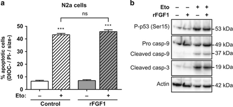 Extracellular FGF1 does not protect N2a cells from p53-dependent apoptosis. ( a ) N2a cells were pretreated or not by adding recombinant FGF1 and heparin in the culture medium (rFGF1) for 48 h, then treated or not with etoposide (Eto) for 24 h. N2a apoptotic cells were characterized by flow cytometry after DiOC 6 (3) and PI staining (apoptotic cells are the DIOC−, PI− and size− cells). The graph represents the mean±S.E.M. of three independent experiments. Student's t -tests were performed relative to control cells, except where indicated ( n =3; n.s.: P > 0.05; ***: P ⩽0.001). ( b ) N2a cells were pretreated or not with recombinant FGF1 (rFGF1) for 48 h, and then treated or not with etoposide (Eto) for 24 h. Twenty micrograms of the corresponding cell lysate proteins were used to analyze by western blot the levels of P-p53 (Ser15) that reveals p53 activation, of pro- and cleaved caspase-9 forms and cleaved caspase-3. Actin detection was used as a control
