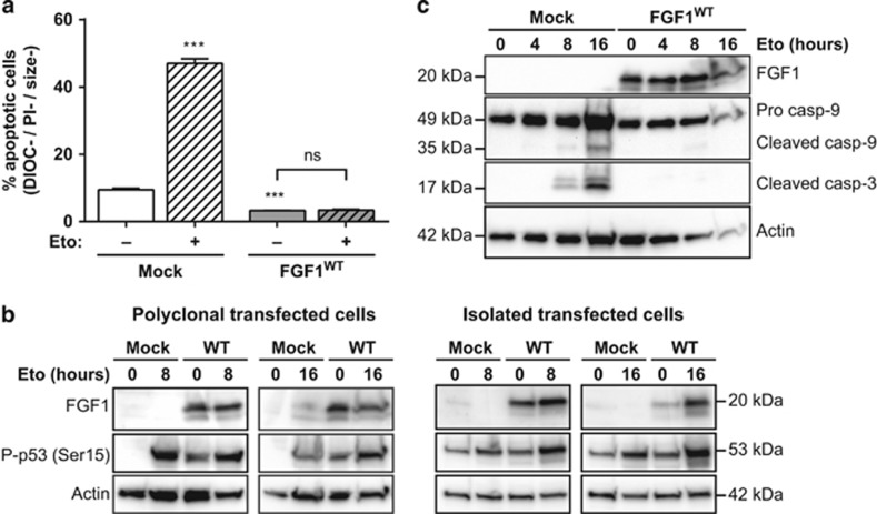 Intracellular FGF1 WT protects SH-SY5Y cells from p53-dependent apoptosis. Stably transfected SH-SY5Y cells with either FGF1 WT or empty (mock) expression vectors were treated or not with etoposide for 16 h. ( a ) Polyclonal transfected SH-SY5Y apoptotic cells were characterized by flow cytometry after DiOC 6 (3) and PI staining (apoptotic cells are the DIOC−, PI− and size− cells). The graph represents the mean±S.E.M. of three independent experiments. Student's t -tests were performed relative to the mock control, except where indicated ( n =3; n.s.: P > 0.05; ***: P ⩽0.001). ( b ) FGF1 expression and p53 activation (phosphorylated Ser15) were assessed by western blot in either polyclonal transfected cells (left panel) or isolated transfected cell lines (right panel). Actin detection was used as control. ( c ) FGF1 expression, <t>caspase-9</t> and -3 cleavages were assessed in polyclonal transfected cells by western blot. Actin detection was used as control