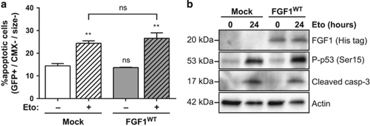 Intracellular FGF1 does not protect N2a cells from p53-dependent apoptosis. ( a ) N2a cells were transiently co-transfected with GFP and FGF1 WT or empty (mock) expression vectors and then treated or not with etoposide for 24 h. Following transfection and treatment, N2a transfected apoptotic cells were quantified by flow cytometry after CMX-Ros staining. Transfected apoptotic cells correspond to the high GFP (transfected cells, GFP+), low CMX-Ros (low ΔΨm, CMX−) and small-sized (size−) cells. The graph represents the mean±S.E.M. of three independent experiments. Student's t -tests were performed relative to the control Mock cells, except where indicated ( n =3; n.s.: P > 0.05; **: P ⩽0.01). ( b ) N2a cells were transiently transfected with FGF1 WT or empty (mock) expression vectors and then treated or not with etoposide for 24 h. FGF1 expression, p53 activation (Ser15 phosphorylation) and caspase-3 cleavage were analyzed by western blot. Actin detection was used as a control