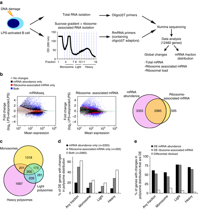 DNA damage induces changes in mRNA translation decoupled from total mRNA abundance. a Experimental set up for the study of etoposide- induced changes in total mRNA abundance (mRNAseq) and mRNA translation (Polyribosome profiling followed by 3′end RNA sequencing; PolyRibo-3′ RNA-seq) in B cells. Libraries from four biological replicates were generated for both mRNAseq and PolyRibo-3′ RNA-seq. Changes in total cellular mRNA abundance, changes in ribosome-associated mRNAs and changes in polysome distribution after induction of DNA damage were analyzed using DESeq2 (transcripts collapsed by gene id). b Visualization as MA plots of changes in B-cell transcriptome and B-cell translatome after etoposide treatment (20 μM, 4 h) (LPS = L, LPS + Etoposide = LE). Top panel , MA plot showing the mean expression of mRNA transcripts in B cells vs. changes in total mRNA abundance after treatment with etoposide (mRNAseq). Middle panel , MA plot showing the mean abundance of ribosome- associated mRNAs vs. changes in mRNA translation induced by etoposide (PolyRibo-3′ RNA-seq) ( grey —unchanged mRNAs in both datasets, black —mRNAs that change in cellular mRNA abundance only, red —mRNAs with a translational change only, blue —mRNAs that change at both mRNA abundance and translation). Bottom panel , Venn-diagram with the number of mRNAs that change in abundance, translation or both. c Venn-diagram showing the number of mRNA transcripts with significant changes in monosome, light and heavy polysome fractions (mRNA fraction distribution analysis). d Proportion of differentially expressed (DE) mRNAs, differentially ribosome-associated mRNAs or both that show a significant change in polysome distribution. mRNAs are grouped based on significant changes in abundance in any of the fractions (fractions 4 to 16) or in monosomes only (fractions 4 to 7), in light polysomes (fractions 8 to 10) or in heavy polysomes (fractions 11 to16). e Proportion of genes with a change in polysome distribution (de