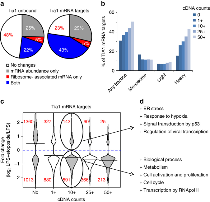 Tia1 mRNA targets are highly responsive to DNA damage. a Proportion of Tia1 mRNA targets compared to non-targeted mRNAs that are differentially expressed in total mRNA abundance, in ribosome-associated or both after B-cell treatment with etoposide. Tia1 mRNA targets were defined as those mRNAs in which > 50 unique cDNA counts were mapped to the 3′UTR in our Tia1 iCLIP experiments. b Proportion of Tia1 mRNA targets with a significant change in any polysome fraction, in monosomes, light or heavy fractions. Tia1 mRNA targets were divided based on the number of unique cDNA counts mapped to the 3′UTR (1+, 10+, 25+or 50+). Tia1 untargeted mRNAs were classified as having none (0) cDNA counts mapped to the 3′UTR. c Distribution analysis of the fold change in ribosome-associated mRNA abundance of differentially expressed Tia1 mRNA targets compared to non-targeted mRNAs. Tia1 mRNA targets were sub-divided as in b . d Gene ontology (GOrilla and REViGO) analysis of Tia1 mRNA targets (10+ cDNA counts mapped to the 3′UTR), which mRNA translation is increased or decreased after B-cell treatment with etoposide (extended in Supplementary Data 5 )