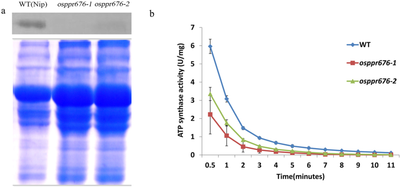 Absence of AtpB subunit production and reduction of <t>ATP</t> <t>synthase</t> activity in rice osppr676 mutants. ( a ) Western blot analysis with AtpB antibody on total proteins from the osppr676-1 and osppr676-2 mutants and WT seedlings (Up panel) and Coomassie Blue staining of the loading amount of samples (Down panel). Full-length gel and blot with original contrast are displayed in Fig. S6 . ( b ) ATP synthase activity measured in the WT, osppr676-1 and osppr676-2 .