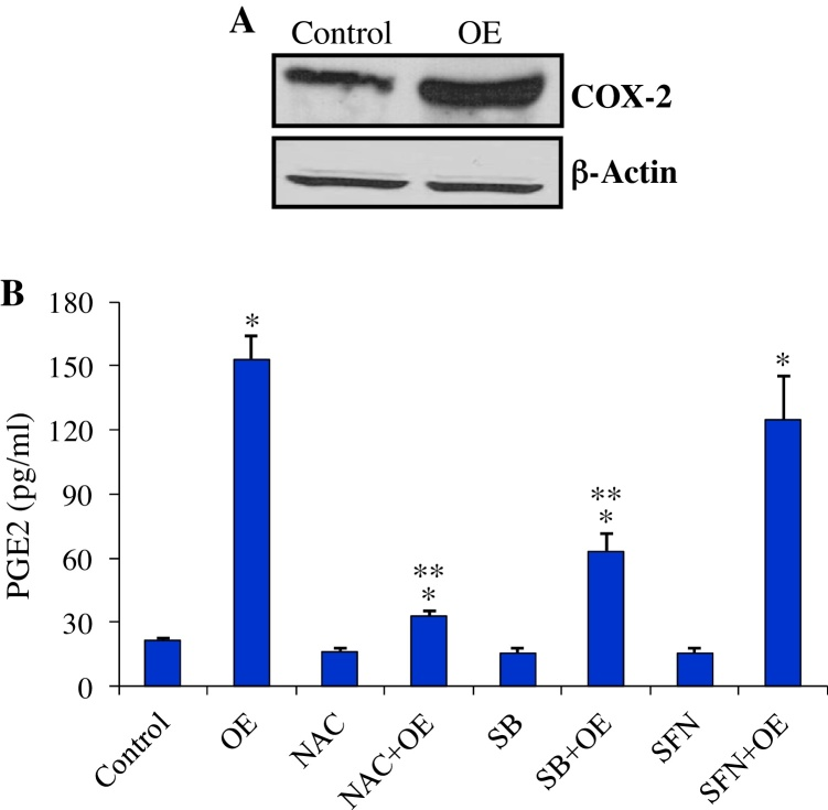 Up-regulation of COX-2 and PGE2 by OE. (A) Increased COX-2 protein in BEAS-2B cells treated with OE for 16 h. (B) Effects of NAC (1 mM), SFN (5 μM) and SB203580 (5 μM) on PGE2 release from BEAS-2B cells after16-h exposure to 50 μg/ml of OE. Values represent means ± SEM, n = 3. * p