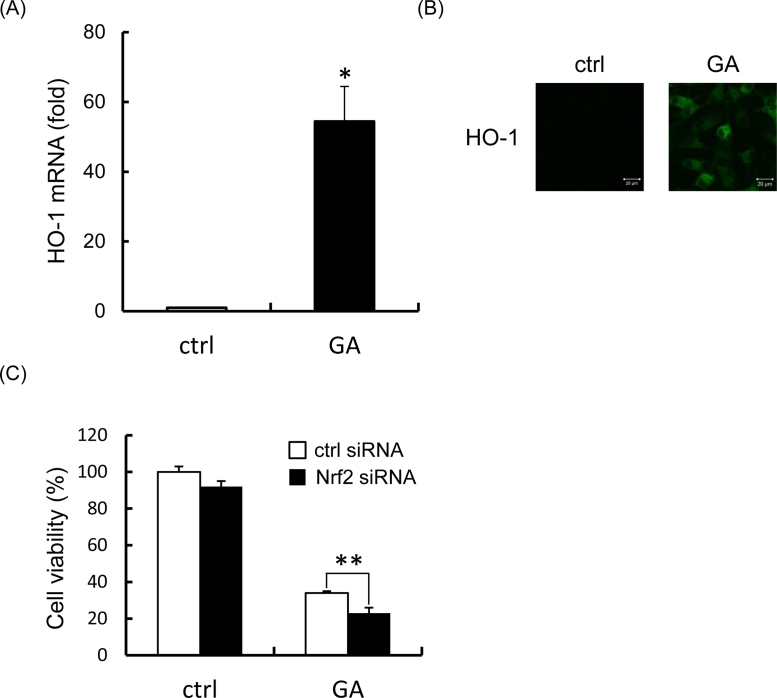 Effect of Nrf2 on GA-induced cytotoxicity. Schwann cells were treated with 500 μM GA for 24 h. (A) <t>HO-1</t> mRNA expression was analyzed by real-time RT-PCR. (B) HO-1 protein expression was analyzed under a laser scanning microscope. Scale bar, 20 μm. (C) Schwann cells were transfected with control siRNA (ctrl siRNA) or Nrf2 siRNA and were treated or not treated with GA. Data are means ± S.D. of three independent experiments. *Significant difference from the value of control ( p
