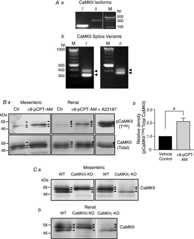 Selective activation of Epac causes autophosphorylation of specific CaMKII isoforms in rat mesenteric artery A , primers designed to amplify γ and δ isoforms ( Aa ) and γ and δ CaMKII splice variants ( Ab ) were used to probe rat mesenteric artery cDNA. PCR products were separated on a 3% agarose gel. M indicates DNA markers. Ba , Incubation of first‐order branches of rat mesenteric artery (left) or renal artery (right) with 8‐pCPT‐AM (10 μ m ) induces phosphorylation of specific CaMKII isoforms at Thr 286/7 (pCaMKII (T 286/7 ); upper). Arteries were incubated with vehicle control (DMSO) or 8‐pCPT‐AM (10 μ m ) for 5 min prior to homogenization. As a positive control, arteries were incubated in the Ca 2+ ionophore, A23187, (12.5 μ m ) for 15 min prior to homogenization. Proteins within the arterial homogenates were separated on 10% polyacrylamide‐Tris gels and immunoblotted with an antibody directed against phospho‐CaMKII Thr 286/7 . The membrane was then stripped and re‐blotted with pan‐specific CaMKII antibodies (total CaMKII; lower; blots shown representative of three similar experiments). Film exposure time for all blots ∼5 min ( Bb ) Densitometry analysis of three similar blots. C , immunoblots of lysates from wild‐type mice mesenteric ( Ca ) or renal artery ( Cb ) using CaMKII antibodies showed a pattern of immunoreactive bands (arrowheads) similar to that of rat arterial lysates. In arterial lysates obtained from CaMKIIδ knockout animals, the lowest molecular weight band was absent. By contrast, in CaMKIIγ knockout lysates, the lower band remained but the higher molecular weight bands were missing. Film exposure time for all blots ∼10 min.