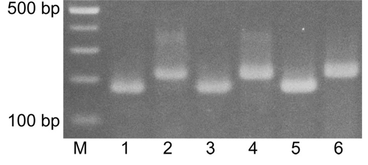 Agarose gel electrophoresis of <t>DNA</t> amplified from various genomic DNA extracts of Korean native honey (KNH) and European honey (EH) in duplex <t>PCR</t> with the KNH-specific primers, C6-F and C5-R, and the EH-specific primers, M2-F and M2-R.