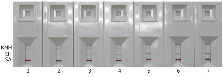 Immunochromatographic assay of DNA amplified from genomic DNA extracts of the mixtures of Korean native honey (KNH) and European honey (EH) in duplex PCR with the KNH-specific primers, C6-F and C5-R and the EH-specific primers, M5-F and M5-R.
