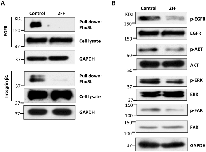 """Treatment with 2FF suppressed core fucosylation on EGFR and integrin β1, as well as down stream signaling. HepG2 cells were cultured with and without (control) 2FF for 3 days, and harvested for lectin pull down assay or immunoblotting as described in """"Methods"""". ( A ) The cell lysates were pooled and incubated with 10 μl of indicated bead-bound PhoSL, which specifically recognizes core fucose. The lectin precipitated samples and equal amounts of cell lysates were then subjected to SDS-PAGE, and probed with anti-EGFR (upper panel) and anti-integrin β1 (lower panel) antibodies. GAPDH were used as a loading control. ( B ) Cell lysates were immunoblotted with anti-phospho-EGFR, anti-EGFR, anti-phospho-AKT, anti-AKT, anti-phospho-ERK1/2, anti-ERK1/2, anti-phospho-FAK, and anti-FAK antibodies, respectively. GAPDH was used as a loading control."""