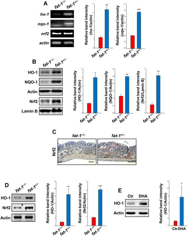The Nrf2-mediated induction of cytoprotective gene expression was elevated in the skin tissues of fat-1 transgenic and DHA-treated mice. Hairless fat-1 transgenic and WT mice ( n = 5 per treatment group) were maintained on AIN-93 diet supplemented with 10% safflower oil (rich in ω-6 fatty acids) for 5 weeks ( A – C ). ( A ) RT-PCR analysis was conducted to measure the mRNA levels of ho-1, nqo1 and nrf2 . ( B ) Collected skin tissues were placed on ice, and fat was removed to get an epidermal layer. The epidermal lysates and nuclear extracts from different groups were subjected to electrophoresis on SDS-PAGE and immunoblotted to detect protein expression of HO-1, NQO1 and Nrf2. ( C ) Paraffin-embedded skin tissue blocks were analyzed by IHC and the levels of Nrf2 (brown spots) were compared between hairless fat-1 transgenic and WT mice. Magnifications, ×100. Scale bar is 100 µm. ( D ) After 23 weeks of feeding the 10% safflower oil diet, whole tissue extracts (30 μg protein) were analyzed for the protein levels of Nrf2-regulated antioxidant gene by immunoblotting. Data are expressed as means ± SE. * p