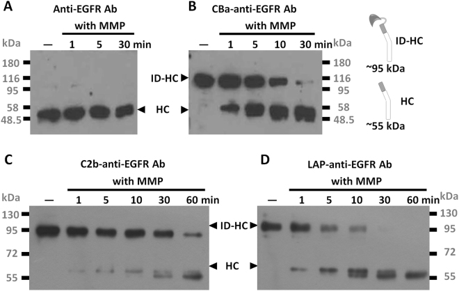 Removal of inhibitory domains from recombinant pro-antibodies by MMP-2. Unmodified anti-EGFR antibody ( A ), CBa-anti-EGFR antibody ( B ), C2b-anti-EGFR antibody ( C ) or LAP-anti-EGFR antibody ( D ) were digested by MMP-2 for the indicated time. Digested antibodies were resolved by reducing SDS-PAGE and analyzed by western blot using <t>HRP-conjugated</t> goat anti <t>human-IgG</t> <t>Fcγ</t> antibodies. Note that amounts of cut (mature form) antibodies increased as digestion was prolonged from 1 minute to 60 minutes. ID-HC: inhibitory domain-heavy chain. HC: heavy chain. with MMP: with MMP-2 incubation. The original blots image for panel A–D are presented in Supplementary Figure S5 .