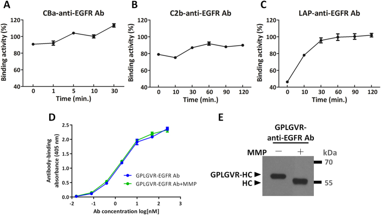 Recovery of binding activities of the recombinant antibodies after removal of inhibitory domains by MMP-2. CBa-anti-EGFR antibody ( A ), C2b-anti-EGFR antibody ( B ) or LAP-anti-EGFR antibody ( C ) that were digested by MMP-2 for indicated time were added to microtiter plates pre-coated with MDA-MB-468 cells. Degree of antibody binding to the cells was compared to the binding of the cells by the unmodified anti-EGFR antibody (set as 100%). The LAP domain reduced antibody binding activity by 53.8%. The CBa and C2b domains masked antibody binding sites ineffectively, only marginally reducing the antibody binding activity by 9.3% and 21%, respectively. Note that after MMP-2 digestion of the LAP-anti-EGFR antibody, the binding activity rose progressively from 46.2% to 100%. ( D ) The binding activities of MMP-2 substrate peptide-linked anti-EGFR antibody (GPLGVR-anti-EGFR Ab) and MMP-2 substrate peptide-removed anti-EGFR antibody (GPLGVR-anti-EGFR Ab + MMP) showed the MMP-2 substrate peptide does not affect the binding activity of the antibody. ( E ) MMP-2 digested antibodies were resolved by reducing SDS-PAGE and analyzed by western blot using HRP-conjugated goat anti human-IgG Fcγ antibodies. GPLGVR peptide was indeed removed from the heavy chains of anti-EGFR antibodies by MMP-2, as indicated by reduction of molecular size. GPLGVR-HC: MMP-2 substrate peptide-linked heavy chain. HC: heavy chain. The original blot image for panel E is presented in Supplementary Figure S6 .