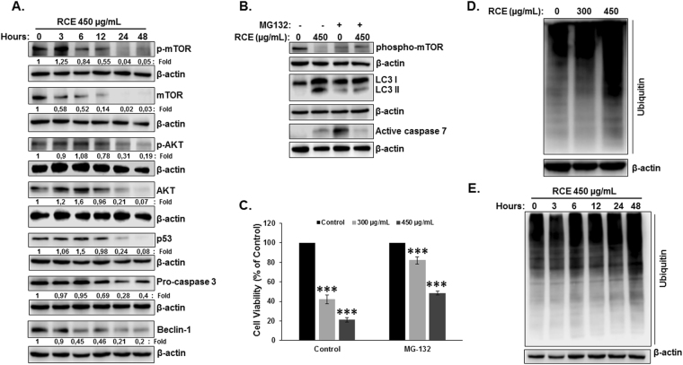 Rhus coriaria stimulates the activation of the ubiquitin proteasome system and its inhibition rescue blocks autophagy and apoptosis and rescues cell viability in HT-29 cells. ( A ) Inactivation of mTOR through proteasome degradation precedes autophagy. Time-course analysis, by Western blotting, of phospho-mTOR, total mTOR, phospho-AKT, total AKT, mutant p53 and procaspase-3 in RCE-treated HT-29 cells. Cells were treated with 450 μg/mL RCE and proteins were extracted at the indicated time-points (3, 6, 12, 24 and 48 h) as previously described. ( B ) Inhibition of the proteasome rescue phospho-mTOR and block autophagy and apoptosis induced by RCE. HT-29 cells were pre-treated for 2 h with or without MG-132 (15 µM) prior to treatment with RCE (450 µg/mL). Whole cell lysate was resolved on 6 and 15% SDS-PAGE for phospho-mTOR and LC3 and active caspase-7, respectively. ( C ) Inhibition of proteasome reduces cell death induced by RCE. HT-29 cells were pre-treated for 2 h with or without MG-132 (15 µM) prior to treatment with RCE (300 and 450 µg/mL) for 48 h. Cell viability was determined as described in Material and Methods. Data are representative of three independent experiments carried out in triplicate. Statistical analysis for cell viability data on control or treated cells were performed using one-way ANOVA followed by LSD Post-Hoc test to determine the significance (***p
