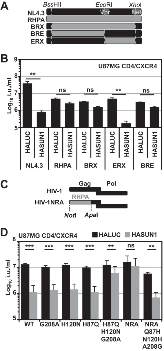 The determinant for the sensitivity to SUN1-induced inhibition maps to CA. (A) Schematic of the generation of chimeric viruses between T/F virus RHPA and NL4.3. (B) VSV-G-pseudotyped GFP reporter viruses were produced by cotransfection with the pCSGW vector, and U87MG CD4/CXCR4 cells were infected with serial dilutions. Infectious titers were determined from at least three different viral doses, and mean titers with standard deviations are shown. Representative results of three independent experiments are shown. Statistical analysis was performed using an unpaired two-tailed t test. ns, not statistically significant; **, P
