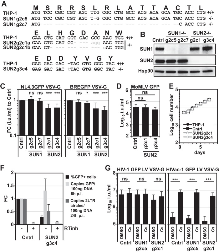 Gene disruption of SUN2 but not SUN1 reduces infectivity of HIV-1 in THP-1 cells. (A) THP-1 CRISPR/Cas9 single-cell clones transduced to express specific guide RNAs against SUN1 or SUN2 were generated. Single-cell cloning followed by PCR-based sequencing across the guide RNA target sites identified two clones for each gene in which the open reading frame was disrupted. (B) Disruption of gene expression was verified by immunoblotting using SUN1- or SUN2-specific antibodies; Hsp90 served as the loading control. CRISPR/Cas9 control cells (Cntrl) expressed an unrelated guide RNA. (C) SUN1- or SUN2-depleted cells were infected with serial dilutions of VSV-G-pseudotyped NL4.3GFP or BREGFP reporter viruses, and infectious titers were determined. Shown are the fold changes (FC) in mean titers compared to control cells determined from at least 10 viral doses of four independent experiments, with standard deviations. Statistical analysis was performed using a paired two-tailed t test. ns, not statistically significant; *, P