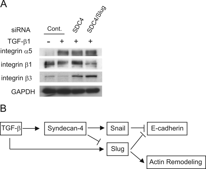 SDC4 are required for retaining the inherent β1 and β3 integrin expression pattern. A, α5, β1, and β3 integrin expressions were determined by Western-blot analysis. Forty-eight hours after transfection with indicated siRNA, A549 cells were exposed with or without TGF-β1 (5 ng/ml) for 48 h. GAPDH was used as loading control. B, Schema of simplified signal transduction pathways, regulating E-cadherin expression via SDC4, Snail and Slug, and consequent actin remodeling.