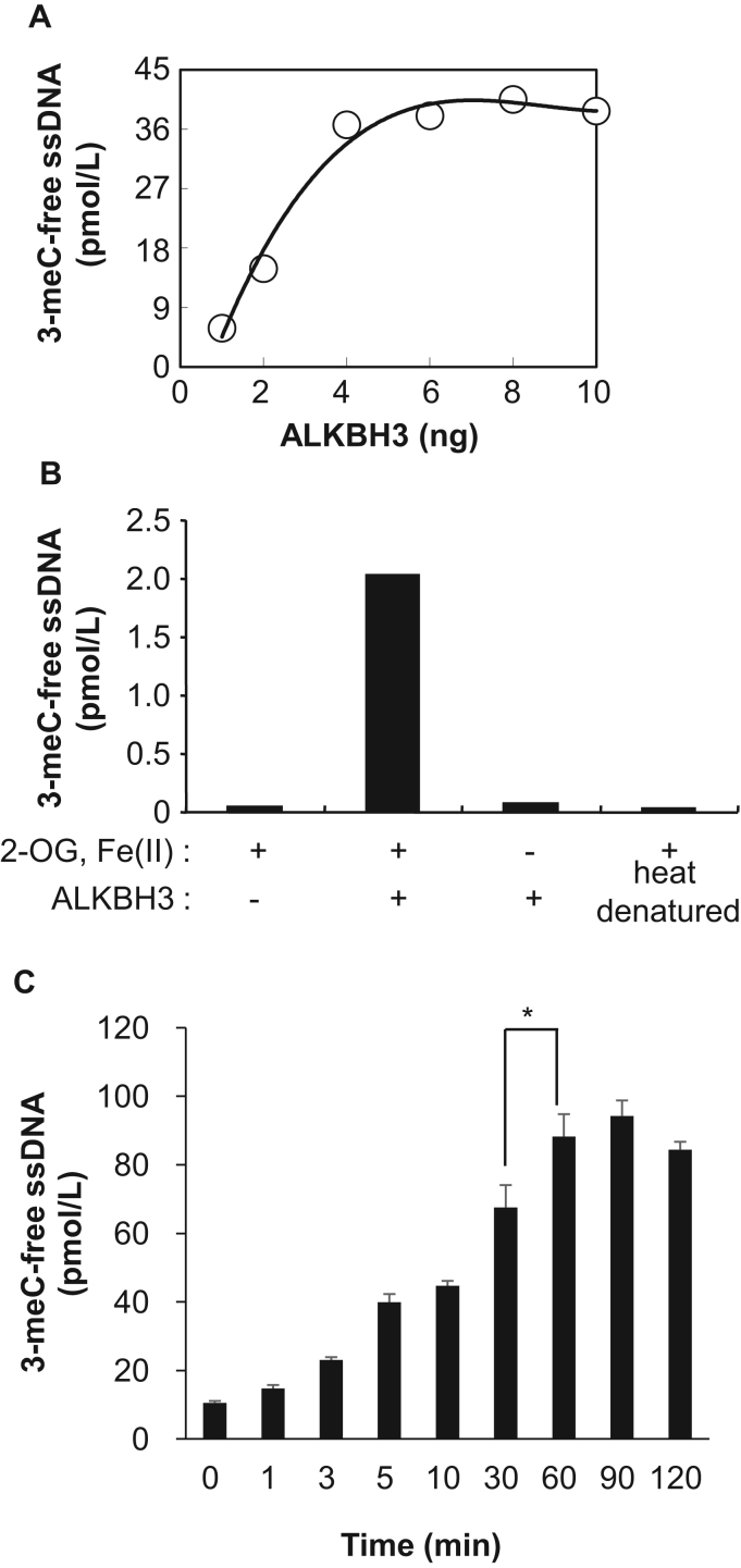 qRT-PCR analysis of recombinant ALKBH3 demethylation activity against 3-meC ssDNA. Demethylation activity of recombinant ALKBH3 was analyzed by qRT-PCR. (A) The amount of demethylated product was estimated from a standard curve using ssDNA oligonucleotides without 3-meC. (B) The demethylation of 3-meC ssDNA by FLAG-His-ALKBH3 was measured in the presence or absence of 2-OG and/or Fe (II). Heat denatured: recombinant FLAG-His-ALKBH3 was heat-inactivated at 95 °C for 10 min. (C) The level of demethylated 3-meC ssDNA converted by recombinant ALKBH3 was determined in a time-dependent manner. All data shown are representative of at least three independent experiments. *p
