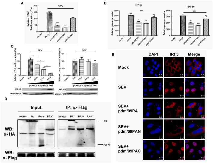 Interferon-β (IFN-β) induction was suppressed by the N-terminus of pdm/09 polymerase acid protein (PA). (A) 293T cells in 12-well plates were transfected with 0.5 µg of Flag-tagged pdm/09 PA, pdm/09 N-terminal PA fragment (PAN), pdm/09 C-terminal PA fragment (PAC), or an empty vector, together with 0.3 µg of IFN-β-luc and 0.02 µg of RL-TK. After 24 h, cells were infected with SEV or were left uninfected for 8 h and then they were lysed for the luciferase assay. (B) A549 cells in 6-well plates were transfected with 1 µg of Flag-tagged pdm/09 PA, pdm/09 PAN, pdm/09 PAC, or empty vector. After 24 h, cells were infected with SEV for 8 h and subsequently harvested, and total RNA was then extracted for detection of IFN-β and ISG-56 expression levels by real-time q-PCR. (C) 293T cells in 12-well plates were transfected with HA-tagged PAN and PAC in increasing quantities and co-transfected with 0.3 µg of IFN-β-luc and 0.02 µg of RL-TK. After 24 h, cells were infected with SEV for 8 h and then lysed for use in the luciferase assay. (D) 293T cells in 6-well plates were transfected with 2 µg of HA-tagged pdm/09 PA, pdm/09 PAN, pdm/09 PAC, or an empty vector, and Flag-tagged IRF3. After 24 h, cells were lysed and precipitated with anti-Flag antibody. The cell lysates and IPs were analyzed by Western blotting using anti-Flag and anti-HA antibodies. (E) 293T cells were seeded onto coverslips and placed into 12-well plates and were transfected with Flag-tagged pdm/09 PA, pdm/09 PAN, pdm/09 PAC, or empty vector. After 24 h, cells were infected with SEV or were left uninfected for 8 h and were fixed for IFA, with endogenous IRF3 (red) and nuclei (blue) shown with anti-IRF3 antibody and DAPI via confocal microscopy. The bars represent the SEs of the means, based on three experiments. * p
