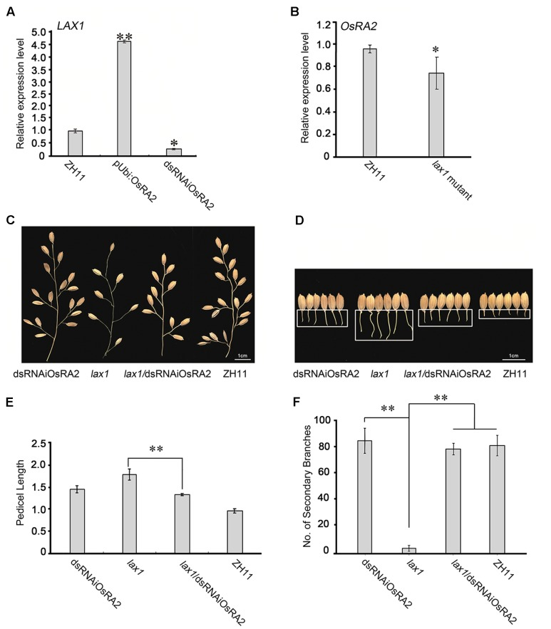 Possible relationships between OsRA2 and other genes. (A) qRT-PCR analyses of LAX1 in the ∼2 cm young panicles of pUbi::OsRA2 and dsRNAiOsRA2 plants. (B) qRT-PCR analyses of OsRA2 in the lax1 mutant. (C,D) PBs and pedicels of the dsRNAiOsRA2 plant, lax1 mutant, lax1 /dsRNAiOsRA2 plant, and ZH11. (E,F) Statistical analysis of the pedicel length and number of SBs in dsRNAiOsRA2 plants, lax1 mutants, lax1 /dsRNAiOsRA2 plants and ZH11. Values are means ± SE n = 15 panicles. Single and double asterisks represent significant difference determined by the Student's t -test at ∗ P