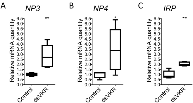Effect of RNAi-mediated knockdown of SgVKR on transcripts coding for neuroparsins and insulin-related peptide in 12-day-old adult female S. gregaria . Relative ( A ) SgNP3 , ( B ) SgNP4 and ( C ) SgIRP transcript levels were measured in the fat body from control and ds VKR -treated 12-day-old female locusts, using qRT-PCR. Locusts were injected with 200 ng of dsRNA against SgVKR or GFP (control) one, five and nine days after molting to the adult stage. The data represent box plots (min to max) of five independent pools of three locusts, run in duplicate and normalized to GAPDH and ribosomal protein 49 ( RP49 ) transcript levels. Significant differences (p