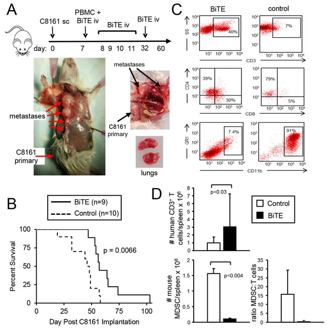 CD3xPDL1 BiTE significantly extends the survival time of humanized NSG mice reconstituted with human PBMC and carrying established metastatic human melanoma C8161 NSG mice were inoculated subcutaneously in the right flank with 1×10 6 human C8161 melanoma cells on day 0. On day 7 when tumors were palpable, mice were either untreated or administered 1×10 7 human PBMC iv in the tail vein and 0.2ng (8ng/kg) CD3xPDL1 BiTE iv in the retro-orbital sinus. On days 8, 9, 10, 11, and 32 mice were given additional iv injections of 0.2μg BiTE. A . Moribund, euthanized control mouse (tumor + PBMC, no BiTE) showing metastases in the lymph nodes and lungs on day 57. B. Kaplan-Meier plot showing survival. Data are pooled from three independent experiments. C . Representative flow cytometry profiles of splenocytes of moribund/dead BiTE-treated and untreated mice stained for human T cells (CD3, CD4, and <t>CD8</t> mAbs), or mouse MDSC (Gr1 and CD11b mAbs). D . Total numbers and ratio of human T cells and mouse MDSC in the spleens of moribund/dead BiTE-treated and control mice of panel B. Data are pooled from 2-3 mice per group.