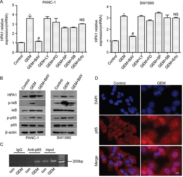 The involvement of NF-κB signaling in gemcitabine-induced HPA1 expression PANC-1 cells and SW1990 cells were pretreated with BAY 11-7082 (10 μM), LY294002 (5 μM), PD98059 (5 μM), SP600125 (10 μM), SB203580 (10 μM) or erlotinib (5 μM) for 2 h and then treated 10 μM gemcitabine for 24 h. (A) mRNA levels of HPA1 were detected by qRT-PCR. *p