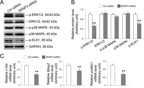 SENP3 involves in MAPK signaling pathway in Sertoli cells Sertoli cells cultured for 3 d were transfected with 100 nM senp3 siRNA or control siRNA for 48 h followed by further analysis. ( A and B ) Immunoblot analysis of the well-known components in MAPK signaling pathways were indicated (A) , and their relative abundances normalized to GAPDH were shown in (B) . (C) Graphs shown were the relative mRNA levels of p-Elk1 target gene c-fos , Mmp2 and profilin1 by qRT-PCR analysis at 48 h post transfection, and normalized to S16 by 2 −ΔΔCT method. Each bar was presented as mean ±SD of n=3 experiments. *, p
