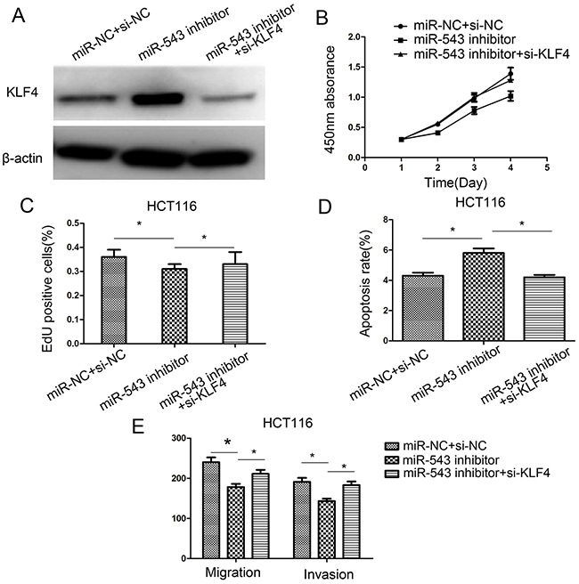 Downregulation of KLF4 rescues miR-543's oncogenic effect on CRC cell proliferation, apoptosis, migration, and invasion in HCT116 cells (A) KLF4 protein expression was detected in HCT116 cells co-transfected with miR-543 inhibitor/miR-NC and KLF4 siRNA or si-NC. (B–E) Cell proliferation, apoptosis, migration and invasion were assessed in HCT116 cells co-transfected with miR-543 inhibitor/miR-NC and KLF4 siRNA or si-NC. * p