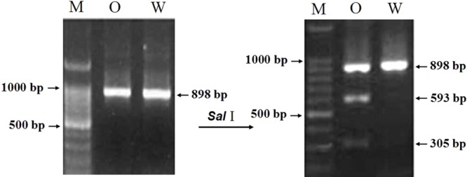 The result of restriction enzyme digesting the amplified PCR products between two parents of RIL population. M: DNA ladder 100; O: Opata 85; W: W7984.