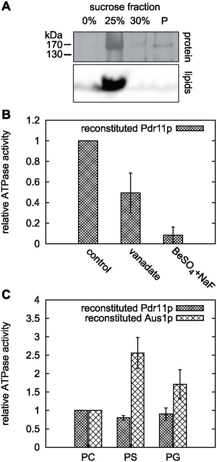 ATPase activity of liposome-reconstituted Pdr11p and Aus1p. Purified Pdr11p and Aus1p were reconstituted into different liposomes (containing Rho-PE as fluorescent lipid marker) and assayed for ATPase activity using [ γ - 32 P] ATP. A: SDS PAGE analysis of a flotation assay of Pdr11p proteoliposomes in a sucrose gradient. Detection of lipids and protein in the same low density fraction validated successful reconstitution. Proteins are visualised by silver staining and lipids by fluorescence from Rho-PE. B: Relative ATPase activity of Pdr11p reconstituted in PS liposomes in presence of the indicated inhibitors: orthovanadate, 1 mM; BeSO 4 , 1 mM; NaF, 5 mM. Data is based on at least two reconstitutions from one purification batch. C: Lipid effect on ATPase activity of reconstituted Pdr11p and Aus1p. All activities are corrected for protein amount in the proteoliposomes. Data is based on two reconstitutions from one purification batch of each protein. PC, PC only; PS, PC/PS (1:1); PG, PC/PG (7:3).