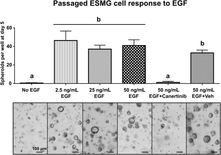 ESMG-derived spheroids are EGF-dependent. Spheroid formation from passaged cells was evaluated at day 5 after the following treatments: no EGF; 2.5 ng/mL recombinant EGF (rEGF); 25 ng/mL rEGF; 50 ng/mL rEGF; 50 ng/mL rEGF + canertinib (CI-1033), an irreversible pan-EGFR blocker; or 50 ng/mL rEGF with DMSO vehicle without the canertinib. The number of spheroids per well for the treatment groups was 0.5% ± 0.4%, 46% ± 10%, 37% ± 4%, 41% ± 6%, and 1.2% ± 1.2%, and 33% ± 3% for vehicle alone, means ± SEM respectively. Groups labeled under a are statistically significant from groups under b ( P