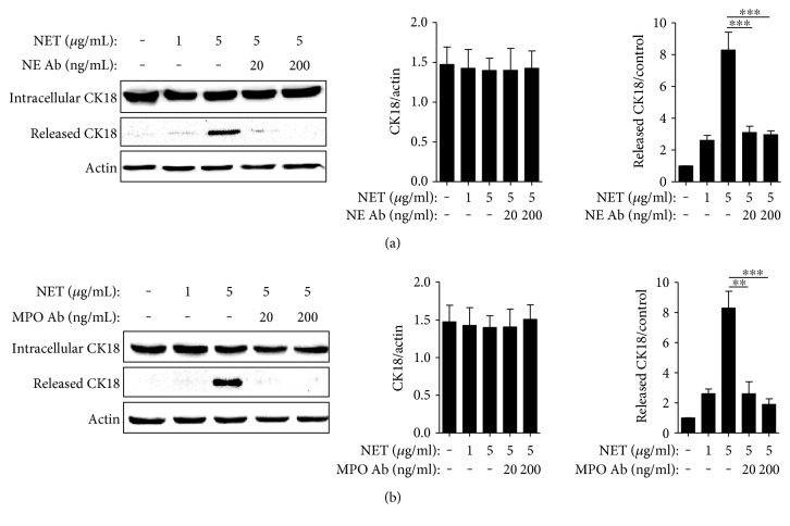 NETs induced CK18 expression and extracellular release from A549 cells. Effects of NETs on A549 cells incubated with/without NE (a) or MPO (b) antibody. Significance is represented by ∗∗ P