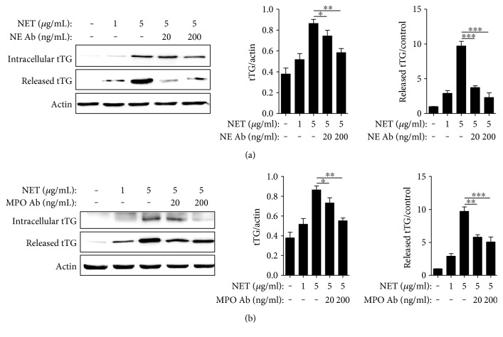 NETs induced tTG expression and extracellular release from A549 cells. Effects of NETs on A549 cells incubated with or without NE (a) or MPO (b) antibody. Significance is represented by ∗ P