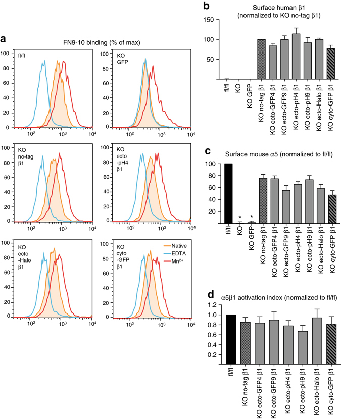 Ecto-tagged β1 integrins bind soluble ligand, restore surface levels of endogenous α5 integrins, and display normal activation indices. a Flow cytometry histograms showing binding of soluble <t>FN9-10</t> to parental and a subset of reconstituted KO fibroblasts, in native conditions (filled orange peak ), <t>EDTA-inhibited</t> conditions ( blue peak ), or Mn 2 + -treated conditions ( red peak ). Full data set in Supplementary Fig. 3a . b , c Quantification of surface levels of human β1 ( b ) and mouse α5 integrins ( c ) measured by flow cytometry on parental and reconstituted β1 integrin fl/fl and KO fibroblasts. d Activation index of surface α5β1 integrins on parental and reconstituted β1 integrin fl/fl and KO fibroblasts, calculated as (FN9-10 binding in native conditions—FN9-10 binding in EDTA-inhibited conditions)/surface levels of α5 integrins. All data b – d is shown as mean ± SEM from four independent experiments. Statistical analysis was performed using one-way repeated measures ANOVA with Dunnett post hoc test. Each column was compared to KO no-tag β1 and * p