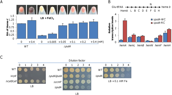 Iron can complement the defect of the putA mutant in production of cytochromes c . ( A) Iron influences heme c levels in ∆ putA . Cultures (∼0.6 of OD 600 ) of WT and ∆ putA grown in LB with iron at varying concentrations were pelletted and photographed, then were lysed for quantition of heme c levels as above. Note that Fe(III) was reduced extracellularly to form Fe 3 O 4 particles in both WT and ∆ putA when its concentrations were high. (B) Expression of the hem genes in ∆ putA analyzed by <t>qRT-PCR.</t> Enzymes for heme biosynthesis are shown above. Cells of mid-log phase grown in LB (WC) and MS (RC) were prepared as described in Methods. The averaged expression level of each gene in mutants was normalized to that of the arcA gene, which is relatively constant. (C) Nitrite susceptibility of ∆ putA . Nitrite susceptibility of S. oneidensis is dictated by cytochrome bd oxidase. Cells at 10 8 cfu/ml were serial diluted and 5 µl of each dilution was dropped on LB plates containing 5 mM nitrite. All experiments were performed at least three times and presented either as means ± SEM or by a representative of similar results.