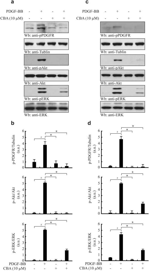 Effect of CBA on PDGF-induced activation of downstream signalling pathways. HASMCs ( a and b ) and MOVAS-1 cells ( c and d ) were pre-treated with CBA for 30 min and then stimulated with PDGF-BB for 15 min. Cell lysates were separated by 10% SDS-PAGE and subjected to western blotting with the indicated antibodies. The membrane was stripped and reprobed with anti-tubulin, anti-Akt, and anti-ERK as loading controls. Relative protein levels were quantified by densitometric scanning and normalised to the corresponding total protein from three independent experiments; # P