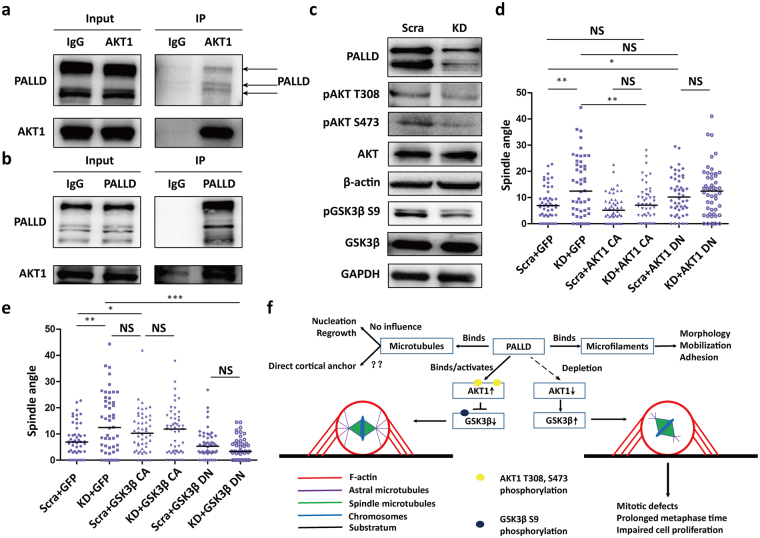 PALLD interacts with AKT1 to maintain AKT1-GSK3β activation and spindle orientation. ( a and b ) Results of co-immunoprecipitation between endogenous AKT1 and PALLD in mitotic HeLa cells. ( c ) After synchronization using double Thymidine, HeLa cells in the scramble and KD groups were collected, and proteins were extracted. Levels of proteins in the AKT1–GSK3β pathway were examined by Western blot. ( d and e ) Spindle angles of scramble and KD cells overexpressing AKT1 CA, AKT1 DN, GSK3β CA, or GSK3β DN were analyzed to determine the extent of rescue of spindle misorientation caused by PALLD knockdown (n = 50). ( f ) Molecular model illustrating the mechanism by which PALLD regulates spindle orientation and mitotic progress. ***P