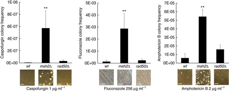 Deletion of MSH2 in C. glabrata leads to significantly more resistant colonies upon selection on multiple antifungal drugs. Wild type, msh2Δ and rad50Δ strains were selected on media containing caspofungin (an echinocandin), fluconazole (a triazole) and amphotericin B (a polyene) at concentrations from 16- to 32-fold greater than wild type MICs as described in Methods section. The plots show means of resistant colony frequencies from ≥3 independent experiments±s.d. See Supplementary Fig. 1 for resistant frequencies to voriconazole (triazole) and micafungin (echinocandin). ** P