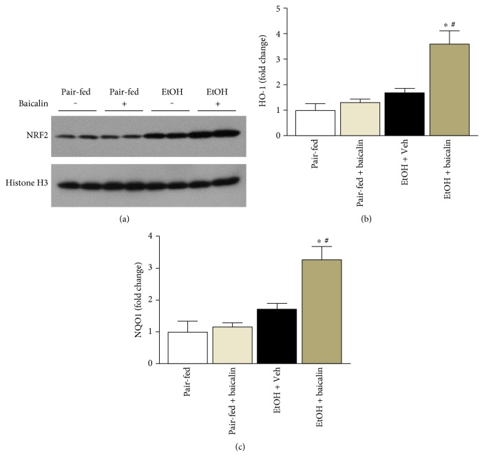 Baicalin prevents chronic-binge ethanol-induced liver injury by modulating NRF2 and its target genes HO-1 and NQO1. (a) Western blot analyses of nuclear extracts of NRF2 along with loading control histone H3. Hepatic mRNA of HO-1 and NQO1 was analyzed by real-time PCR. The results are expressed as fold change relative to the pair-fed group. Values represent means ± SEM and n = 6/group. ∗ P