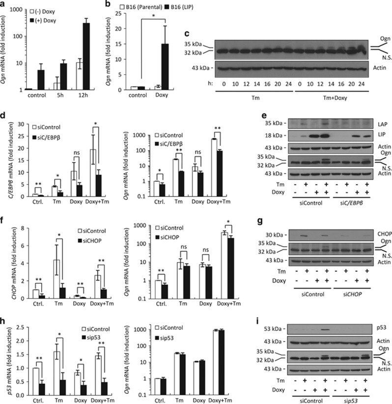 ER stress induces Ogn expression. ( a ) qRT-PCR of Ogn mRNA isolated from F10.9-4 cells pretreated with vehicle or Doxy, followed by vehicle or Tm for the indicated times. ( b ) qRT-PCR of Ogn mRNA isolated from parental B16-F10 cells and from B16-F10.9-4 cells treated with vehicle or Doxy. N =2, * P